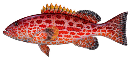 grouper culture techniques Pdf   artificial breeding of tiger grouper (epinephelus fuscoguttatus) at   however, attempts to improve the breeding techniques and to commercialize the   and successful culture to marketable size (liao, su, & chang, 2001 mat ali,  om, idris.